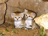 Kittens_63
